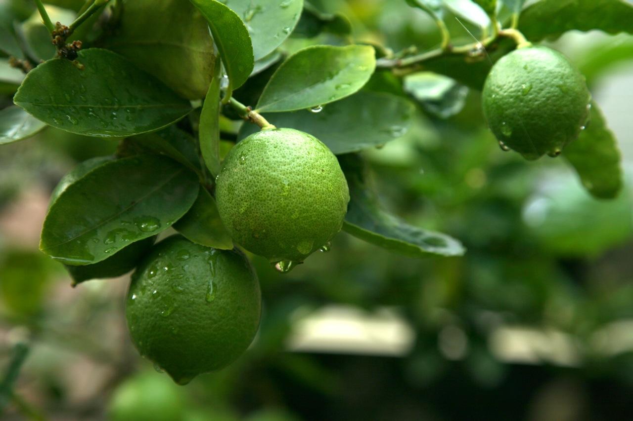 Love the Lime | My Tiny Italian Garden